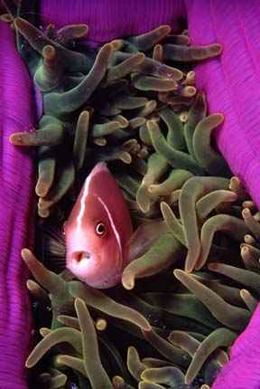 Pink Anemonefish in semi-closed anemone, along with cleaner shrimp; Wakatobi Resort, Sulawesi, Indonesia